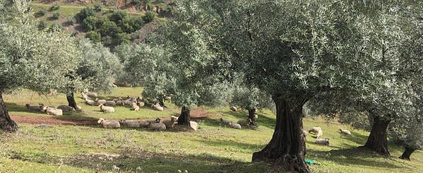 organic-olive-groves