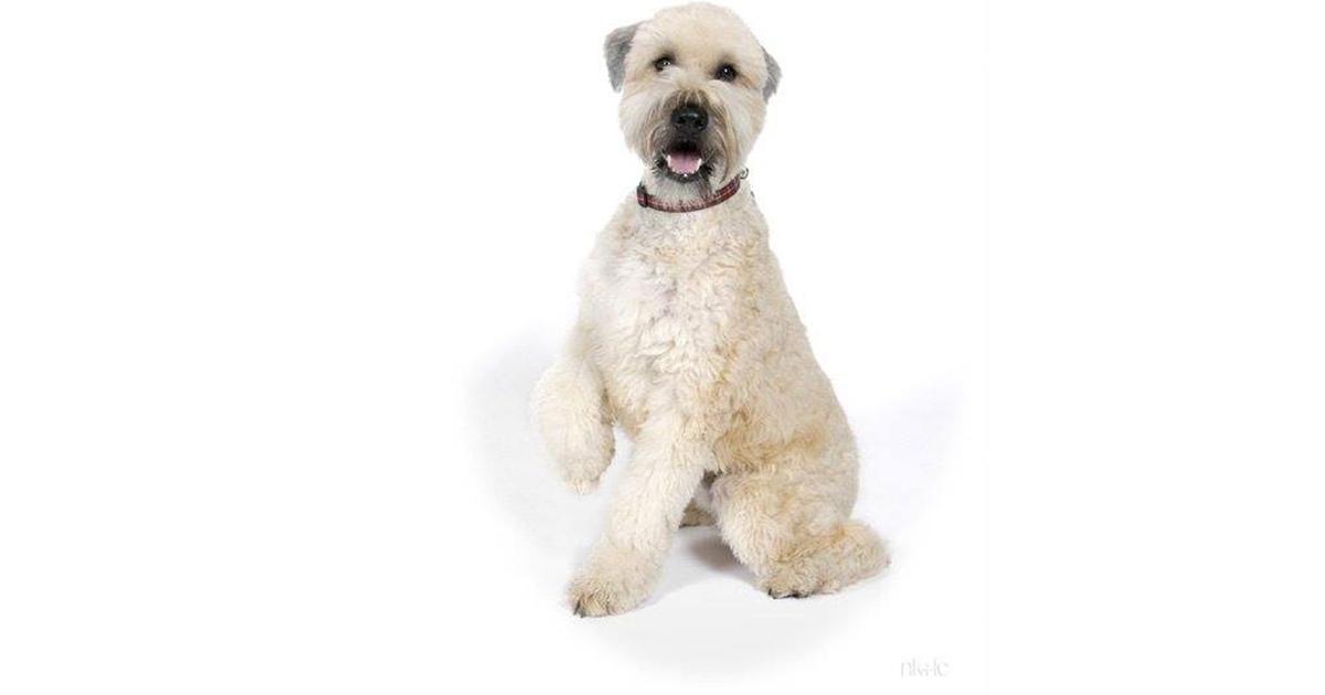 Soft-coated Wheaten Terrier dog