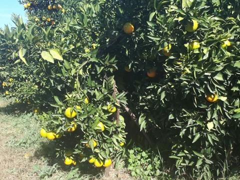 LGS_Spanish Clementines 1-2