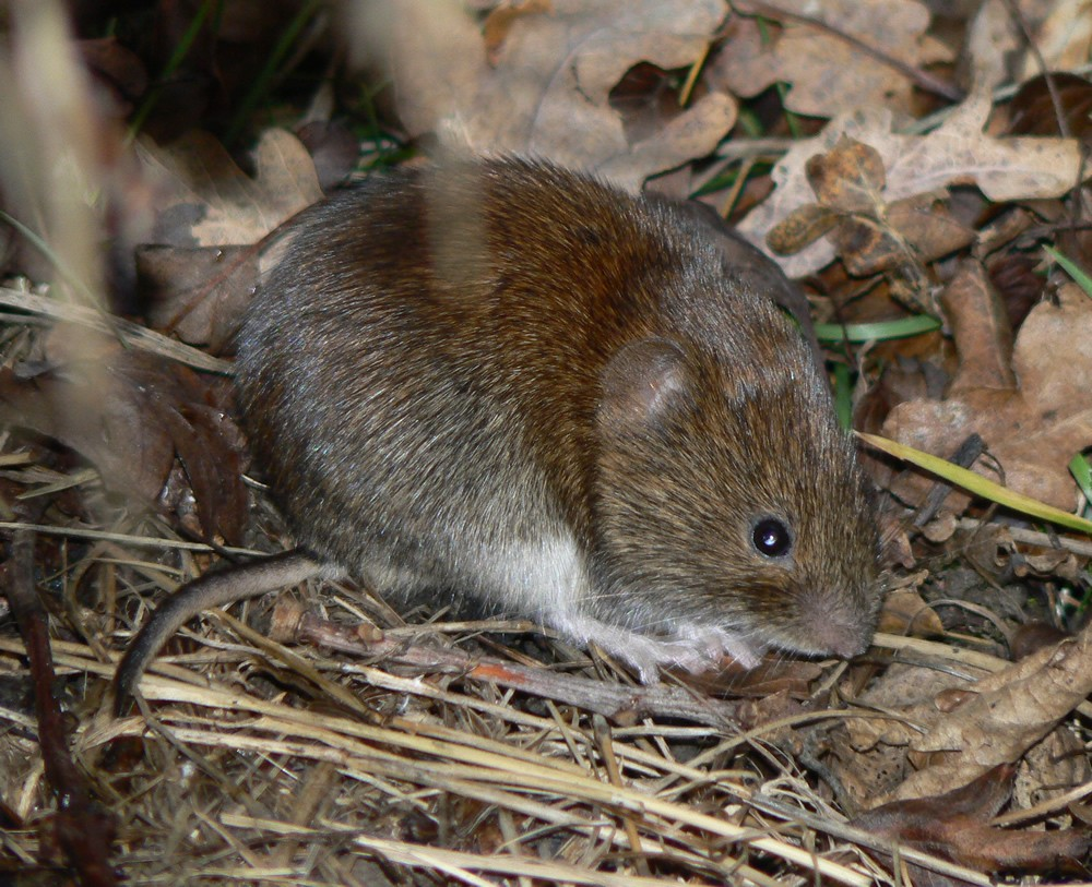 Winter Lawn Tips Vole Damage