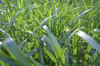Tall Fescue Grass Blades