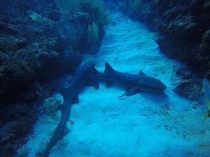 Sharks at Hol Chan small