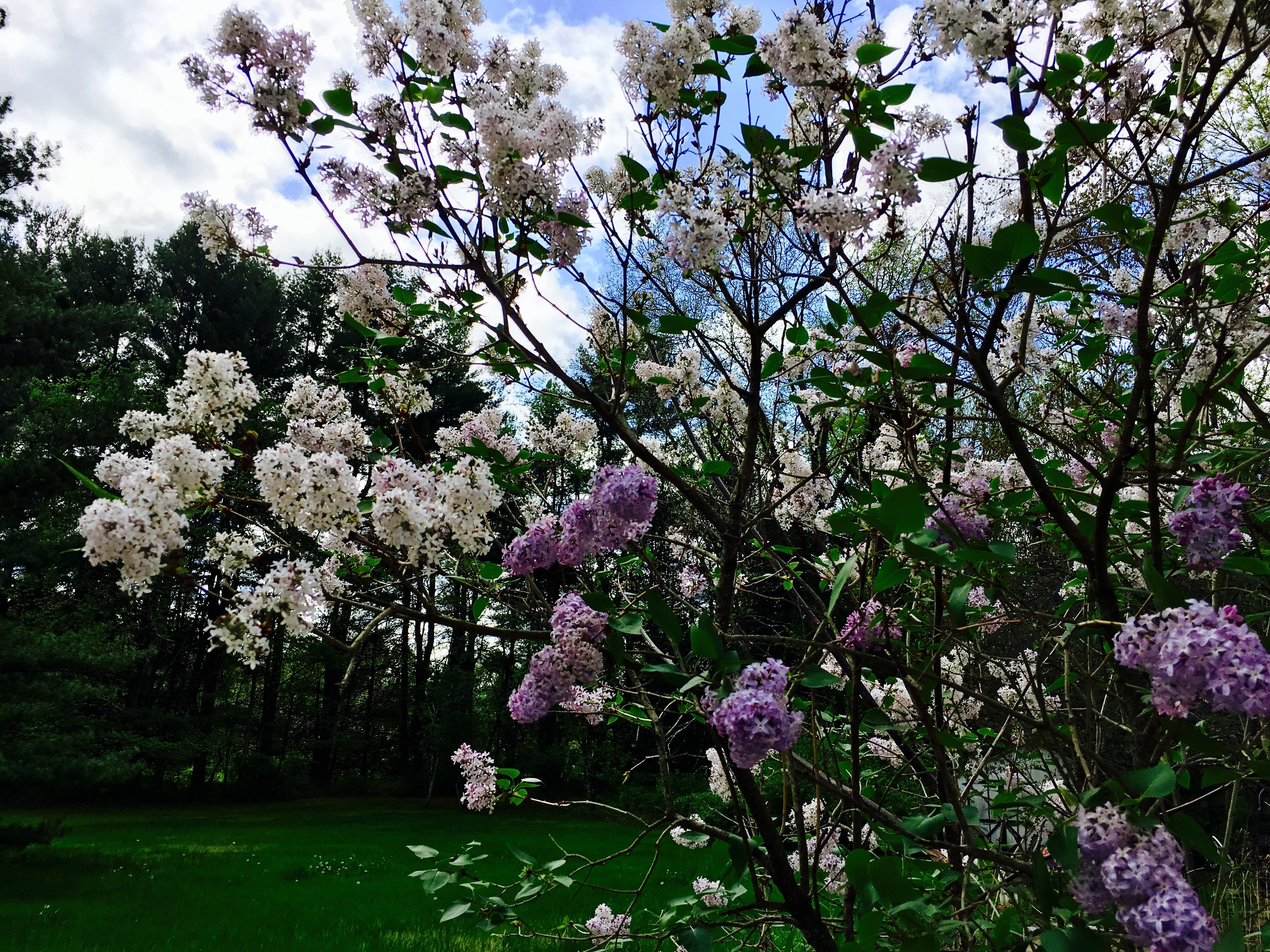 Lilacs remind this author of motherhood.