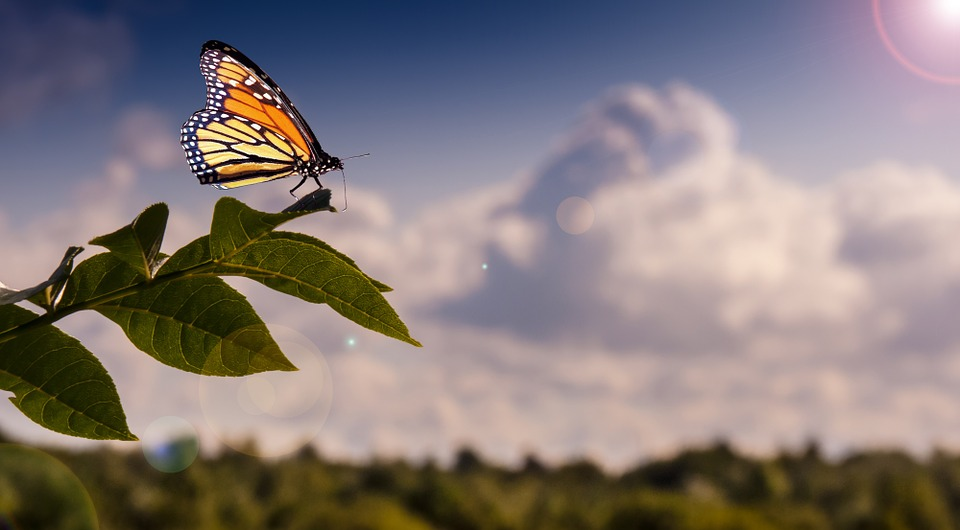 The Monarch butterfly travels from Mexico to Canada every year.