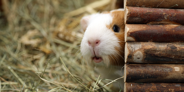 Thinking of getting a guinea pig? Here's what you should know