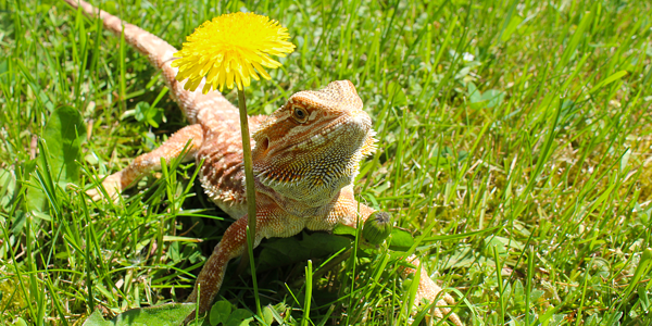 Fun facts about bearded dragons