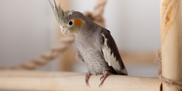 Your go-to cockatiel information sheet