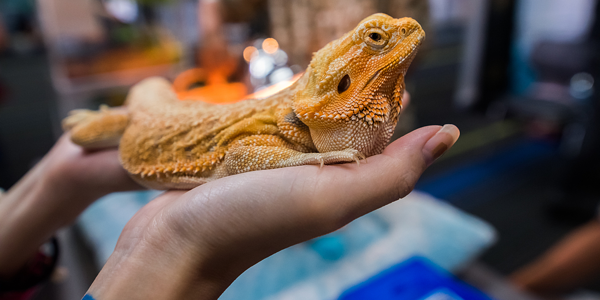 How to correctly handle your pet reptile