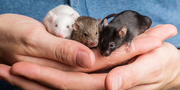 New mouse checklist – Preparing for the introduction of your pet mouse