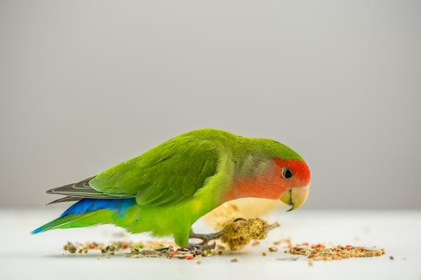 Tips for choosing the best bird treats
