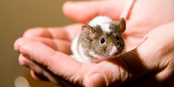How to care for a pet mouse