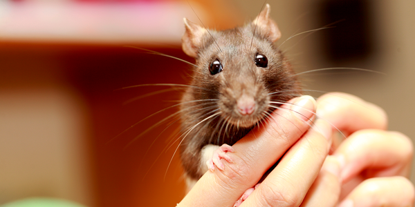 New rat checklist - Preparing for the introduction of your pet rat