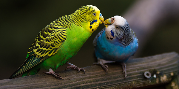 A basic guide to pet budgies