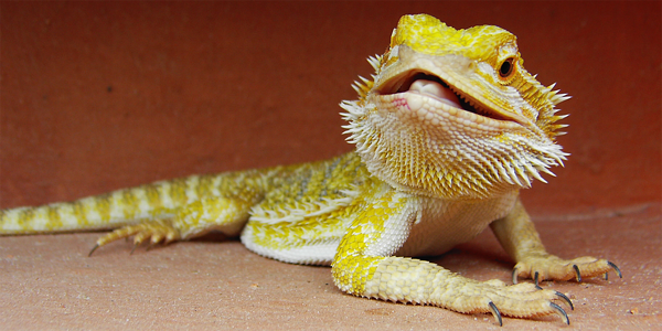 Here's why reptiles make great pets
