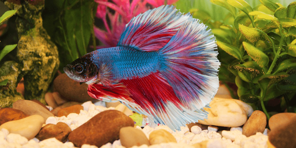Siamese fighting fish as pets