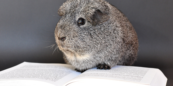Can you train your guinea pig? Here's how!