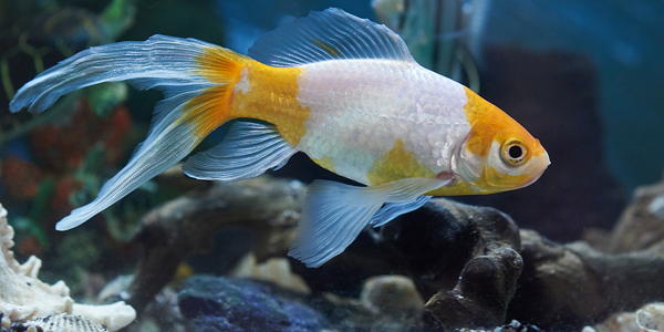 Common myths about goldfish debunked