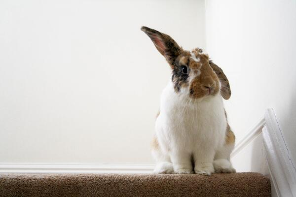 Interesting facts about pet rabbits
