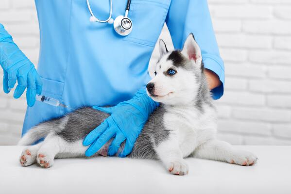 Puppy vaccinations - what you need to know!