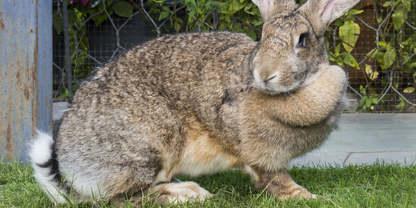 Why flemish giant rabbits make great pets