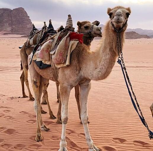 camels land and sea.jpeg