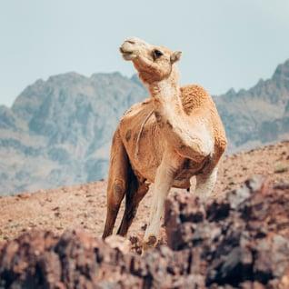 candid camel 1
