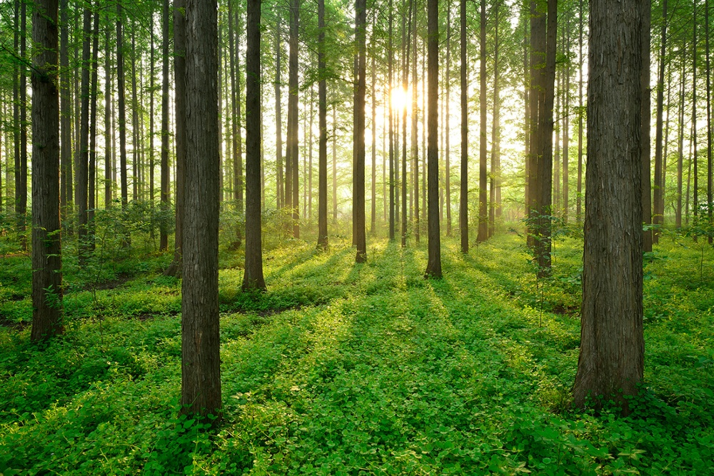 forest_trees-1