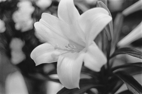 bw easter lily resized 600