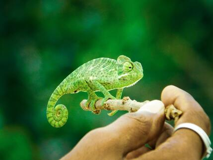 animal-chameleon-green-1695717