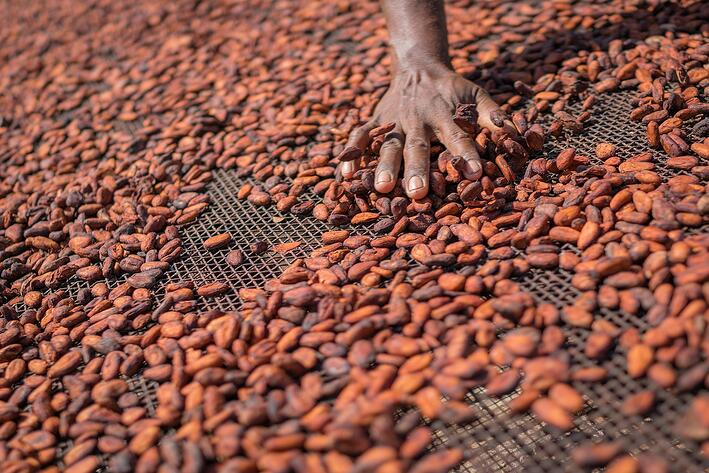 Cocoa_beans_drying_in_sun.jpg