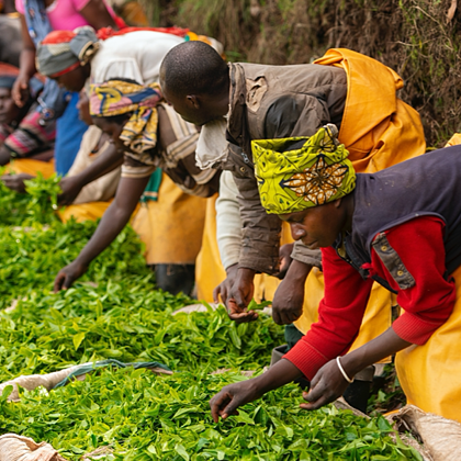 Rwanda White Needle Tea from the Land of 1000 Hills