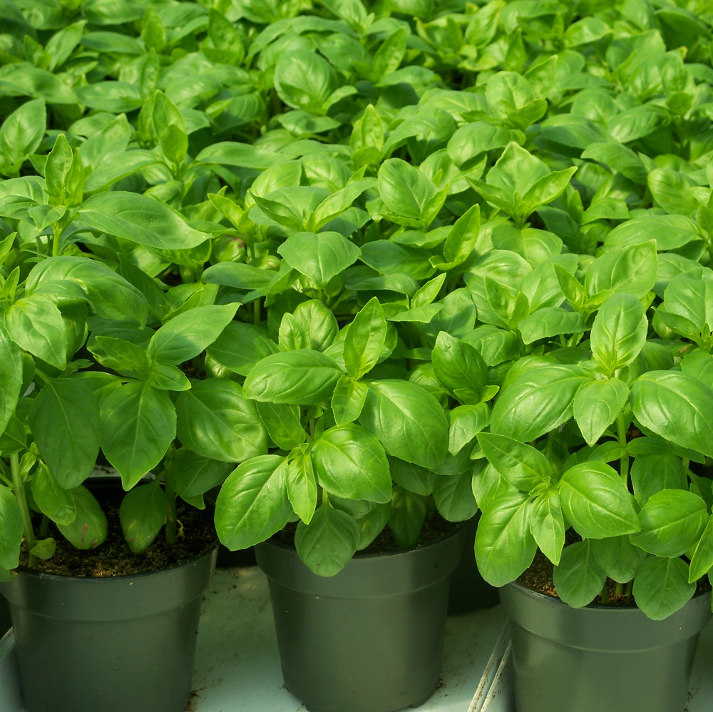 new add on potted organic basil from happy valley organics. Black Bedroom Furniture Sets. Home Design Ideas