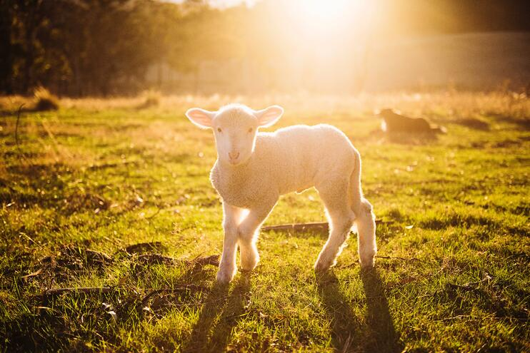 Take part in a Lambing Experience with Wigwam® Holidays - Main Image