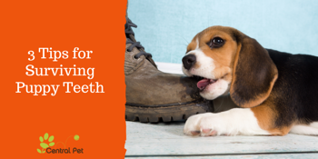 How to survive puppy teething