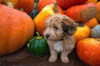 Puppy and Pumpkins-1