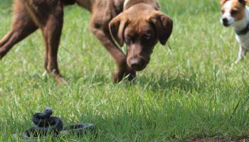 Rattlesnake Avoidance Class