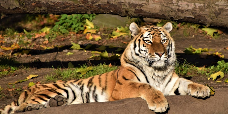 Amur Tiger resting on the ground