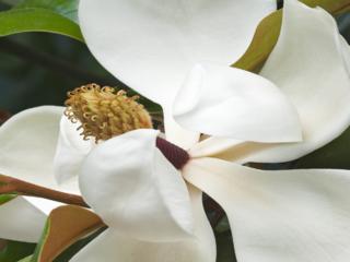 Magnolia-320x240