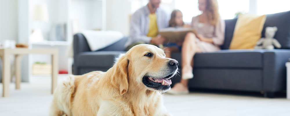 golden retriever sitting in living room staying away from off-limit pet areas