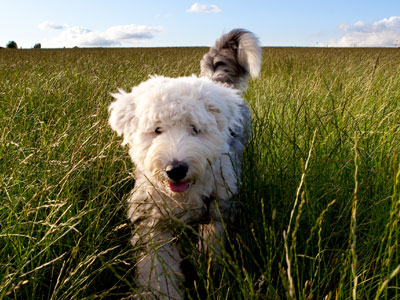 Old english sheep dog chasing after predators through tall grass