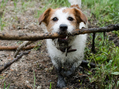 Dog Out of the Mud with Stick in Mouth