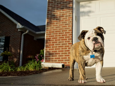 Bulldog Standing in Driveway to Keep Dog From Roaming