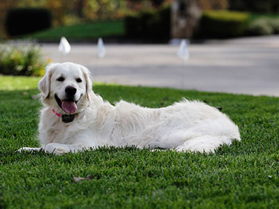 Owners Keep White Golden Retriever dog from chasing cars and squirrels