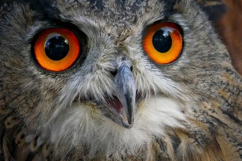 eagle-owl-2989651_1280