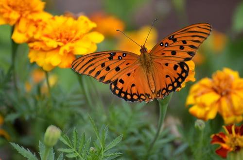 gulf-fritillary-butterfly-1839556_1920