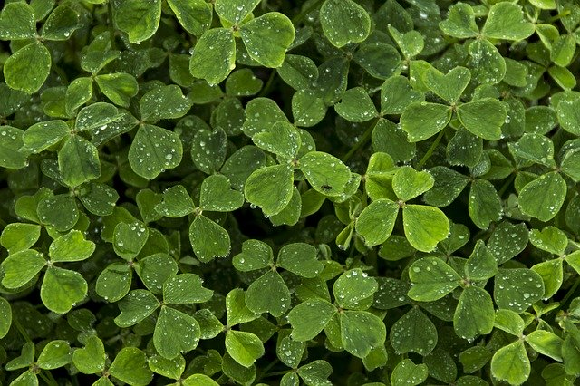 CLovers_Shamrocks