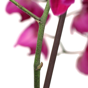 care-for-orchid-keikis.jpg