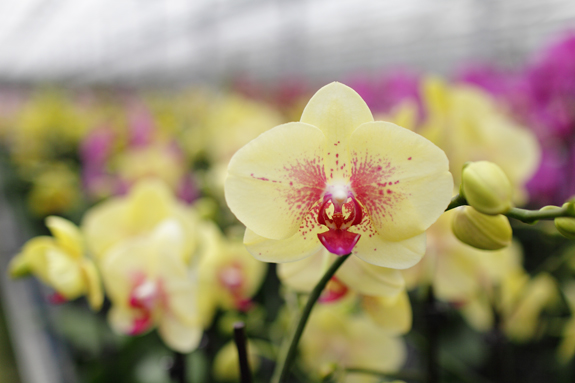 Yellow-Orchid-with-Pink-Spots-1