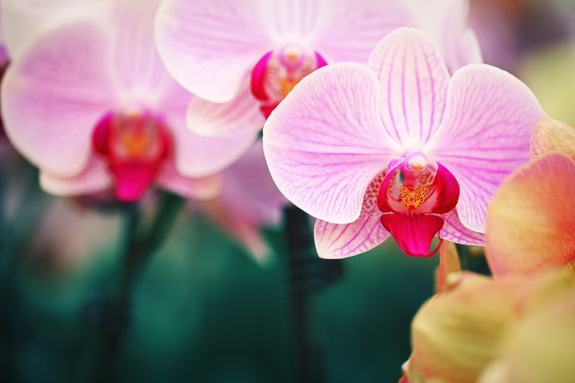bi-color-pink-orchids-in-greenhouse-2.jpg