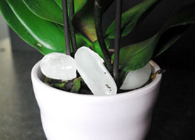 caring for orchids with ice